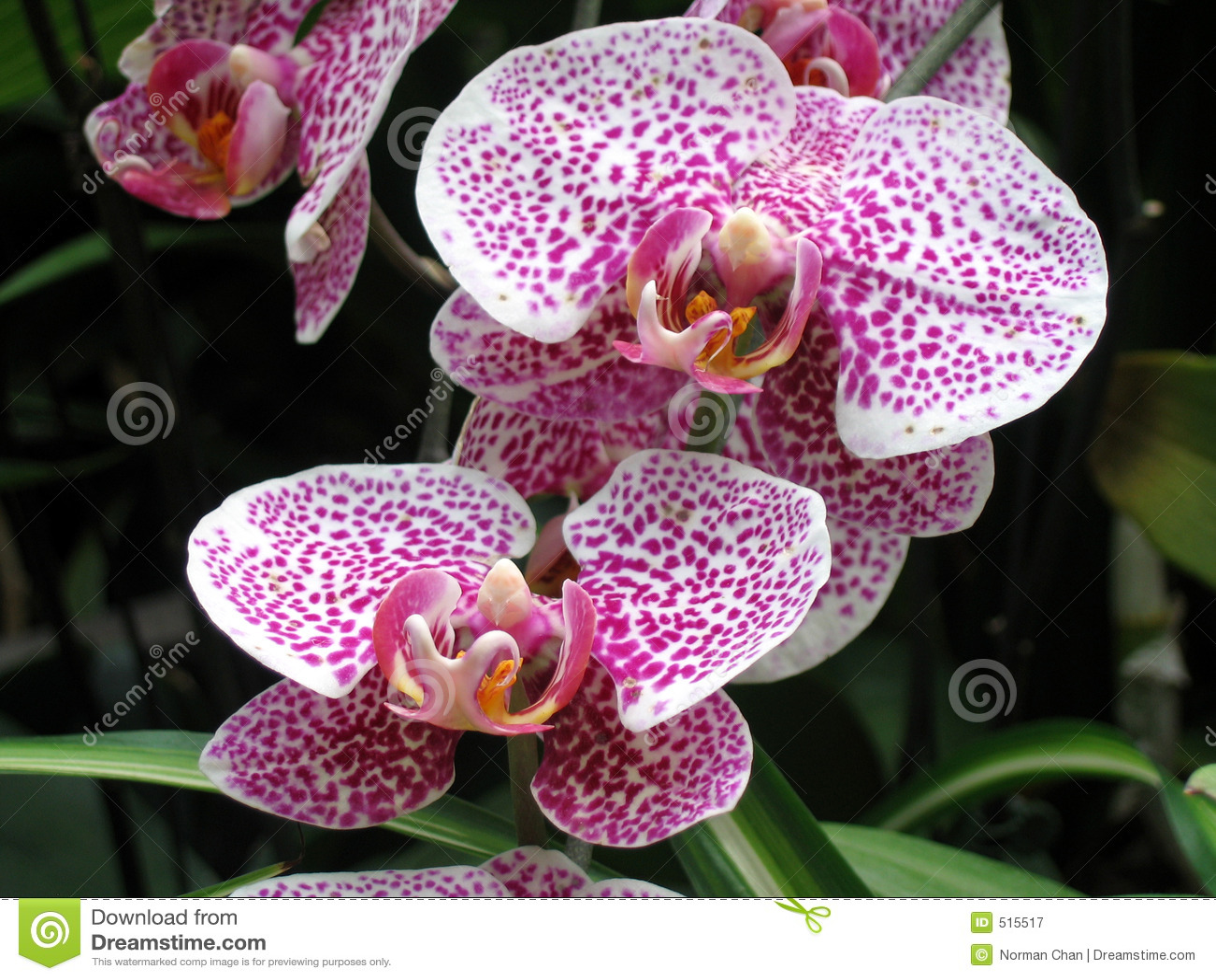 Dentelli le orchidee