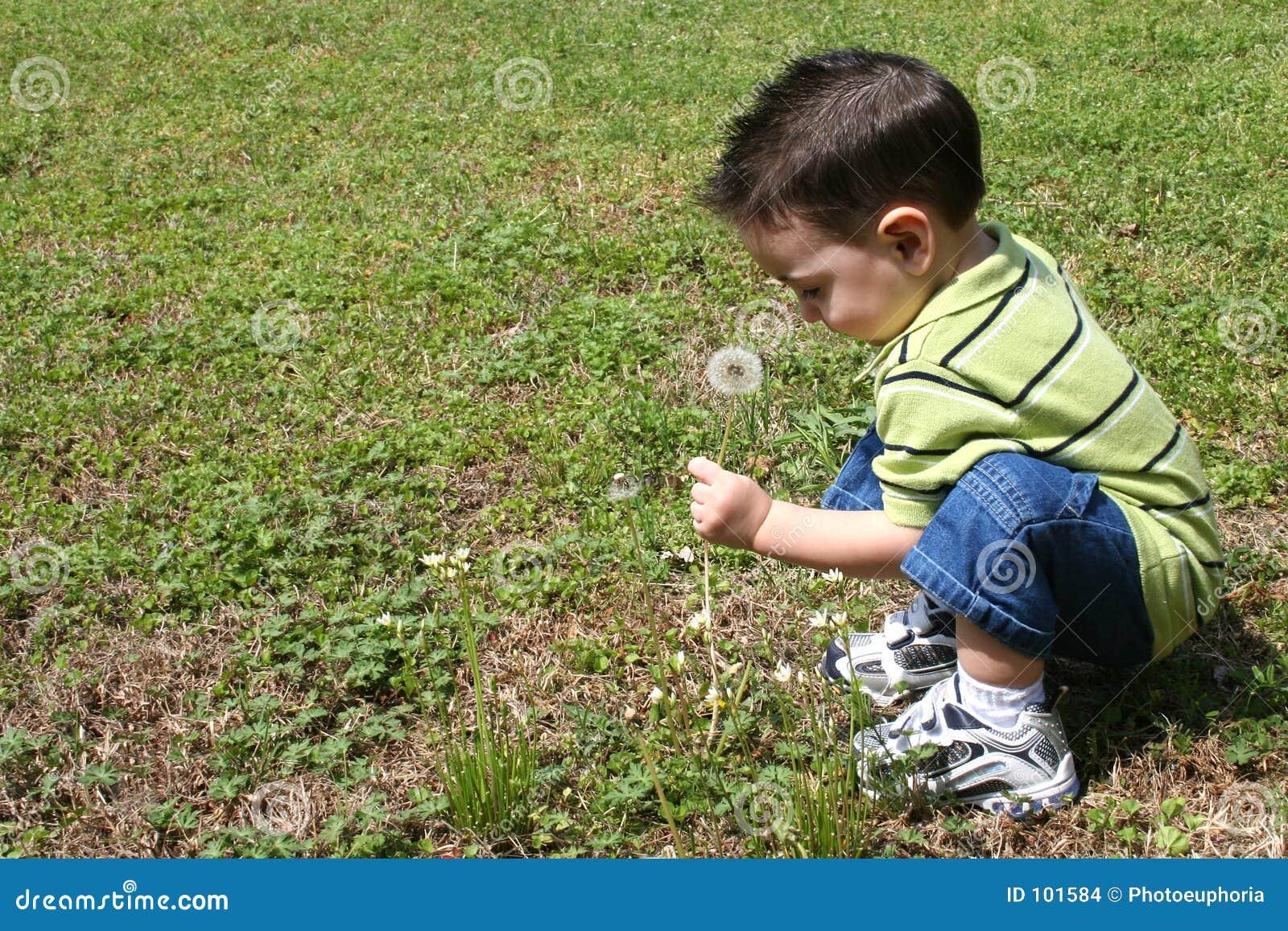 Dentes-de-leão da colheita do menino da jarda