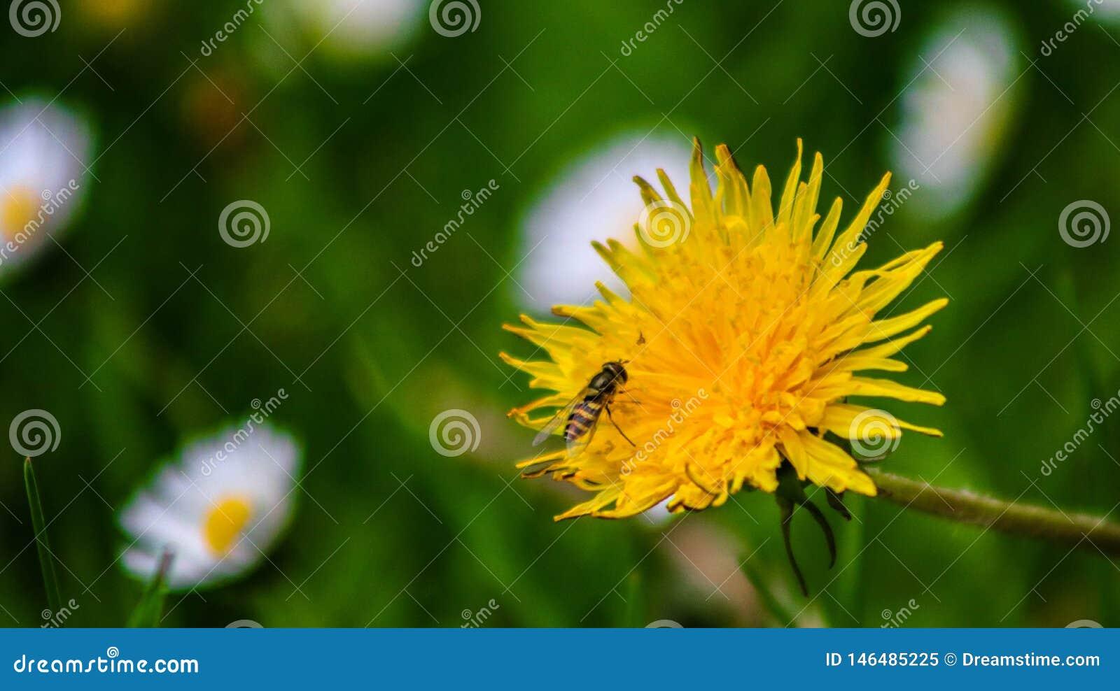 Dentes-de-leão da mola com as flores brancas no fundo