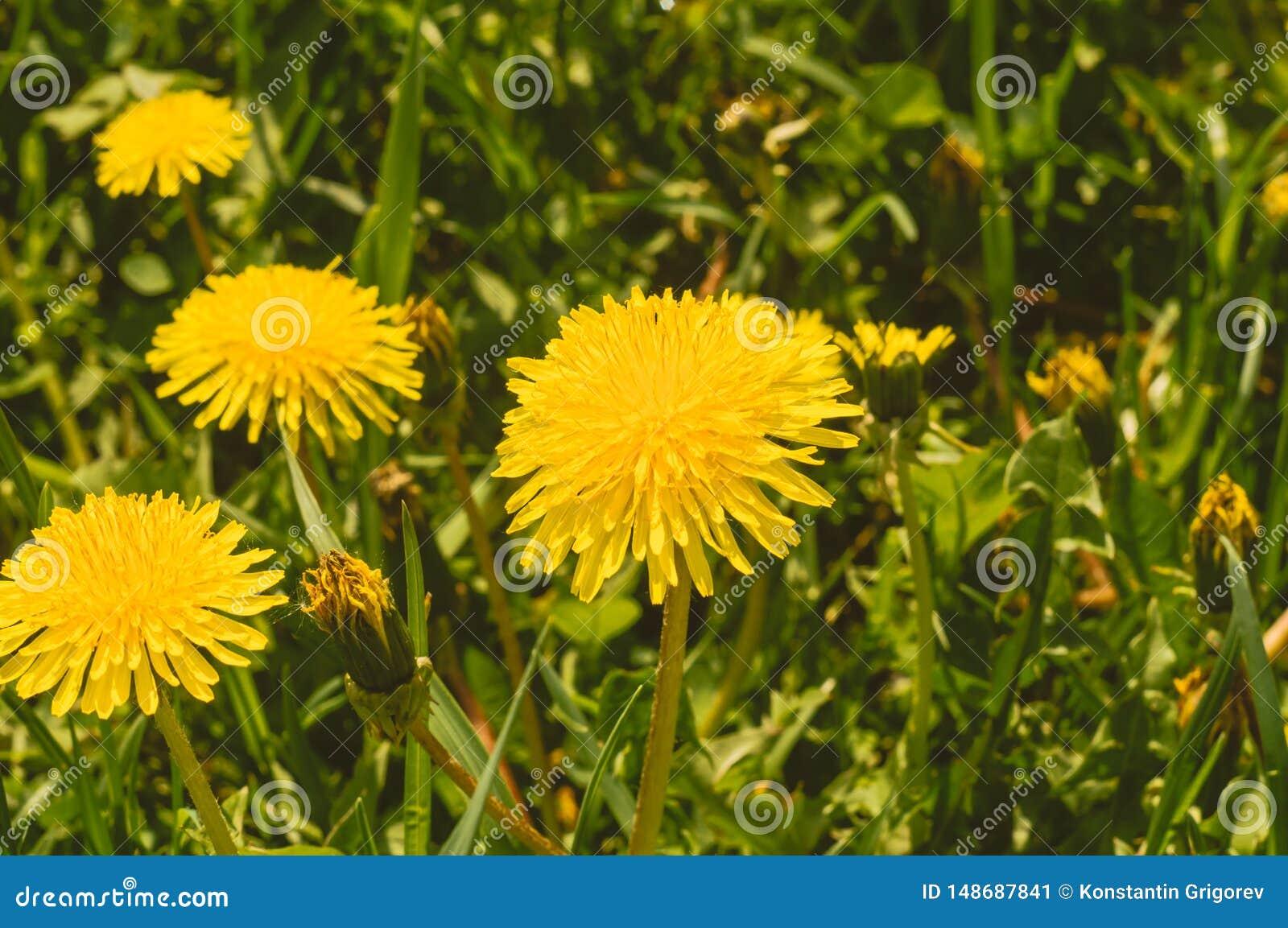 Dentes-de-le?o amarelos entre a grama verde Feche acima da vista