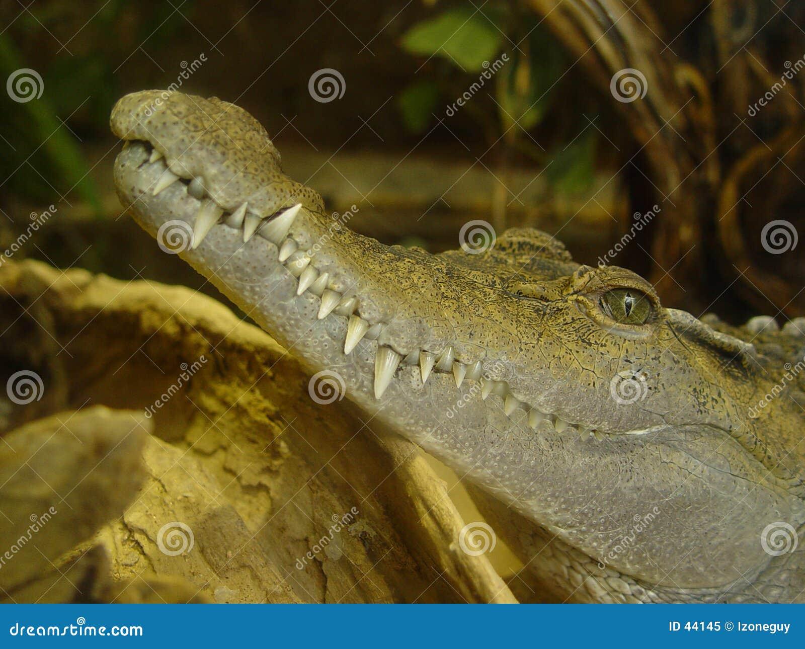 Denti del coccodrillo