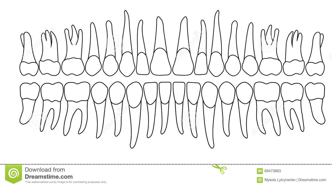 Dentition Stock Vector - Image: 69473863