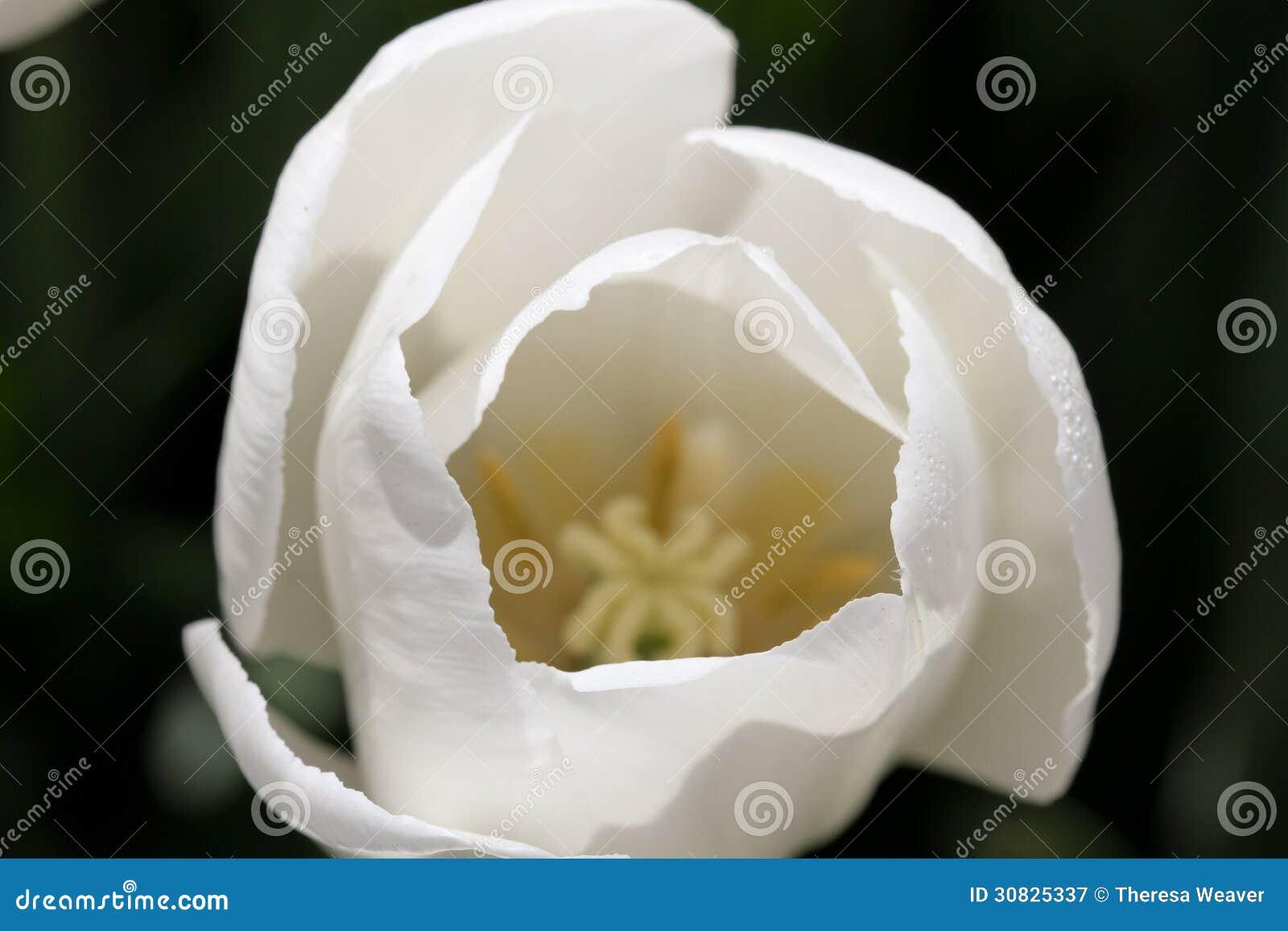 Dentro del tulipano bianco