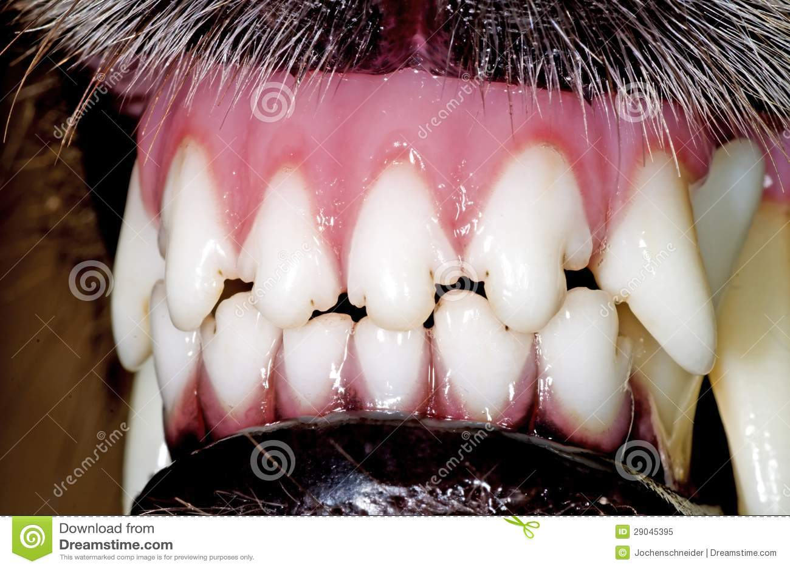 Dents de crabot