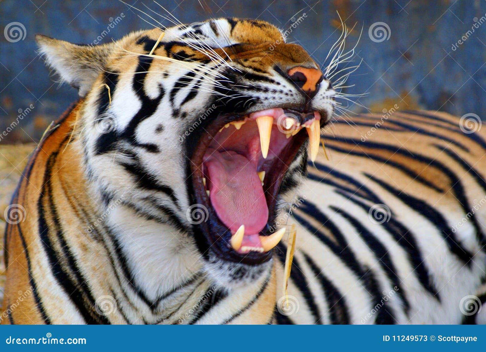 Dents de tigres image stock image du nature repos dents - Images tigres gratuites ...