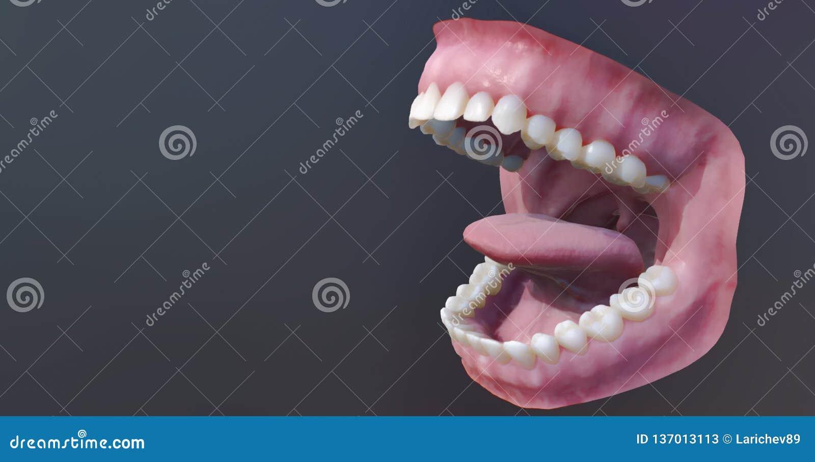 Dents humaines, bouche ouverte Illustration médicalement précise de la dent 3D