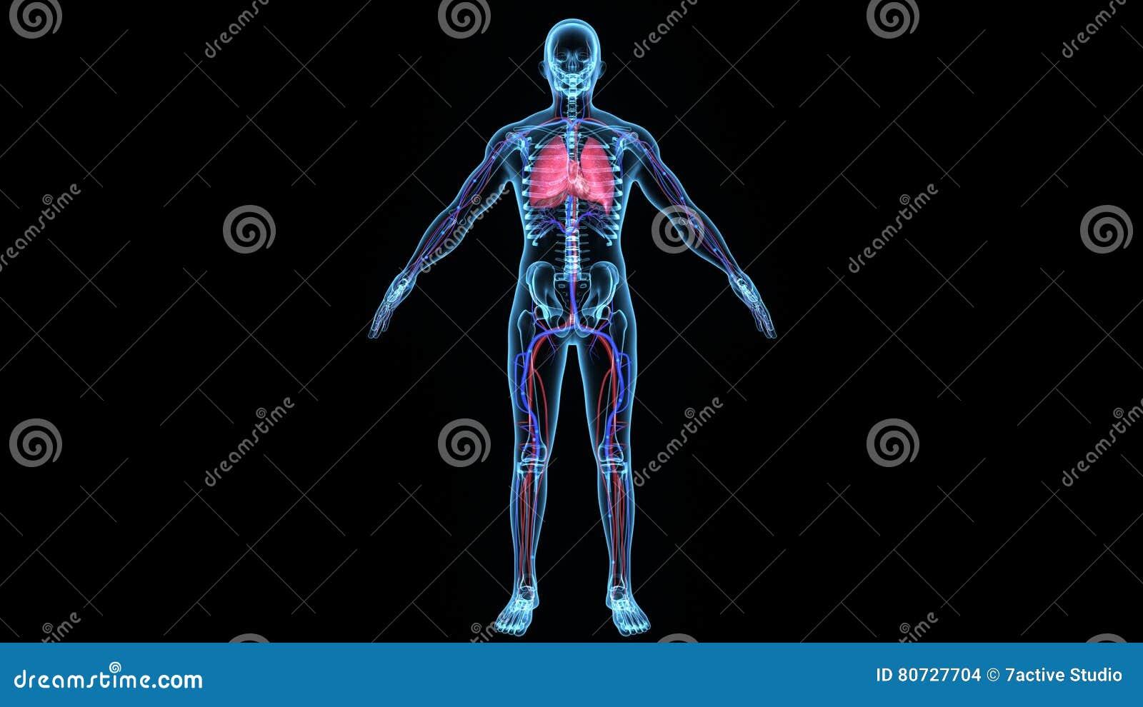 Deoxygenated-Durchblutung Im Körper Stock Footage - Video von ...