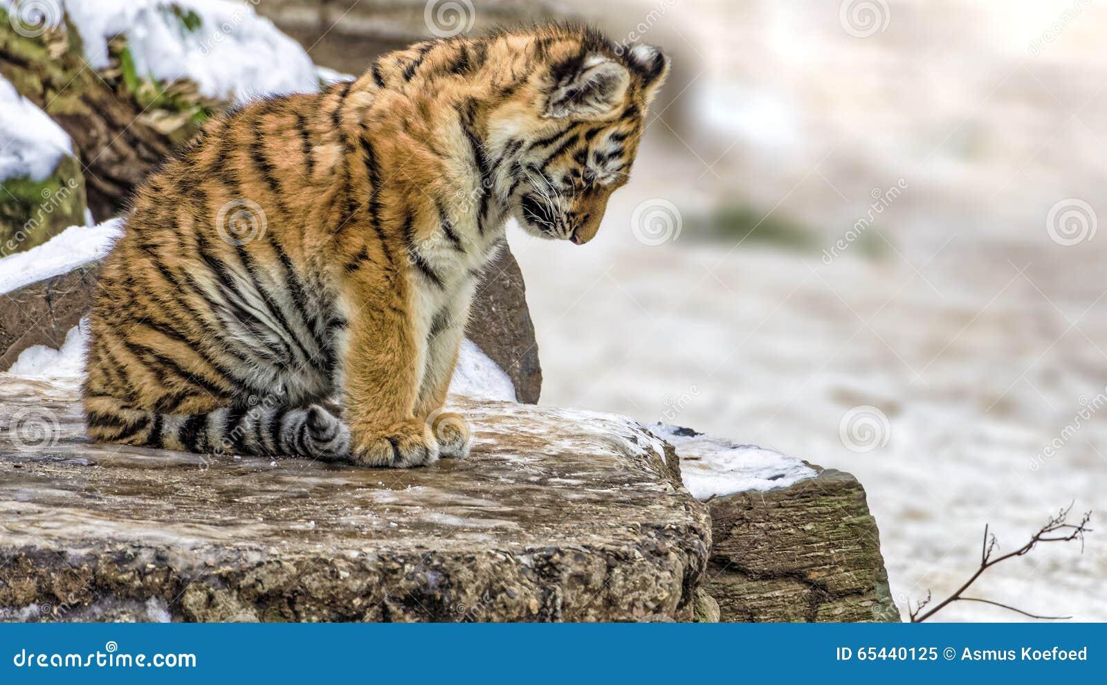 Depressed Or Sad Yet Cute Siberian Tiger Cub Stock Image ... Cute Siberian Tiger Cubs