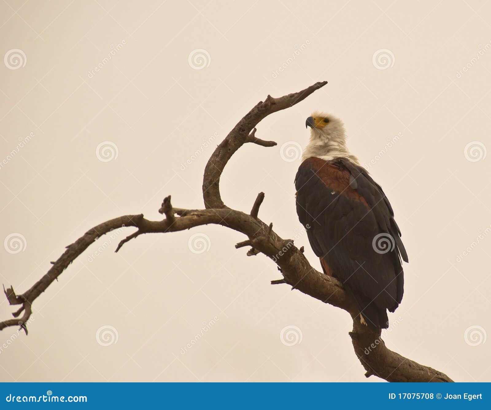 Der afrikanische Fisch-Adler