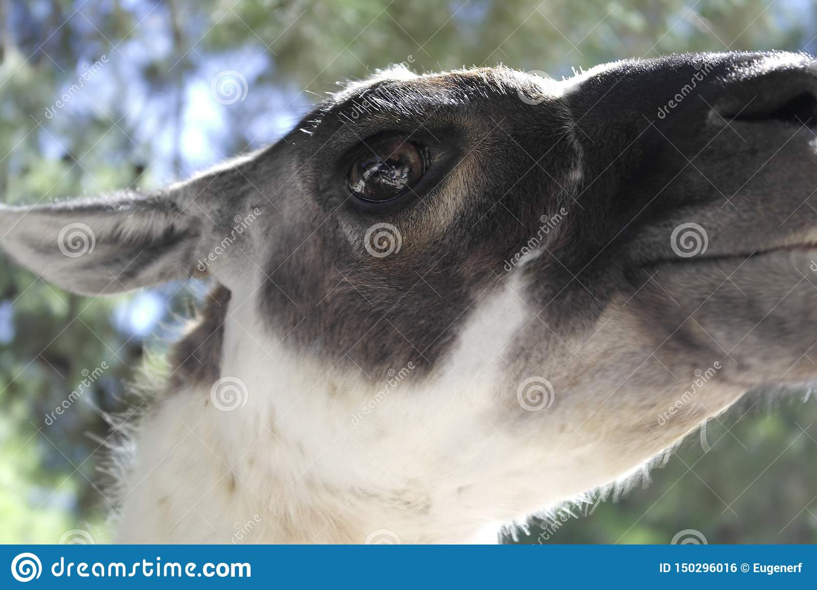 Der Anblick des Alpakas