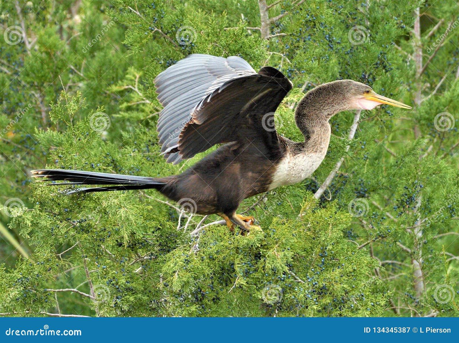 Der Anhinga lässt andere Vögel zu und wird häufig in Mischbrutkolonien mit Reihern, Ibises und Kormoranen gefunden