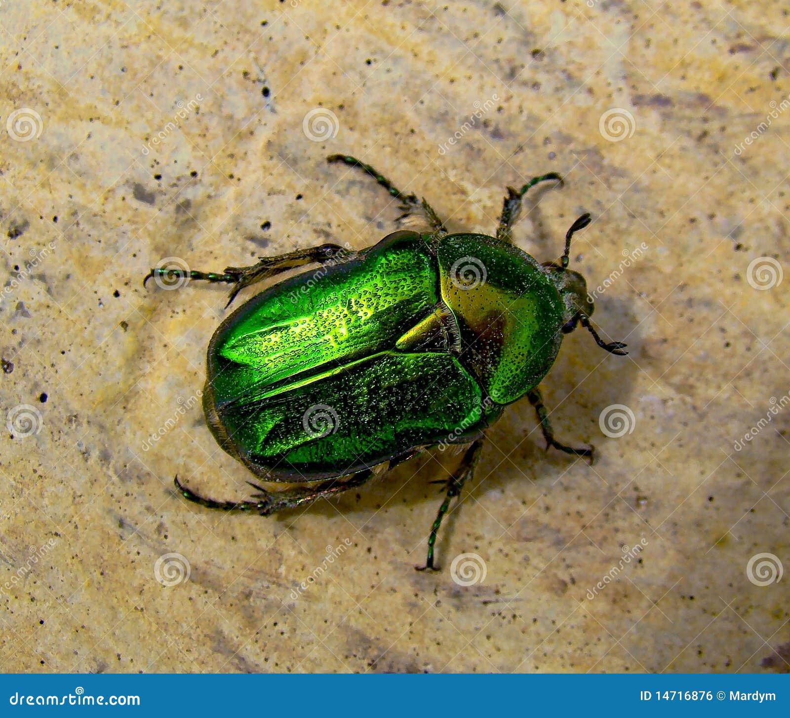 Skarabäus Käfer