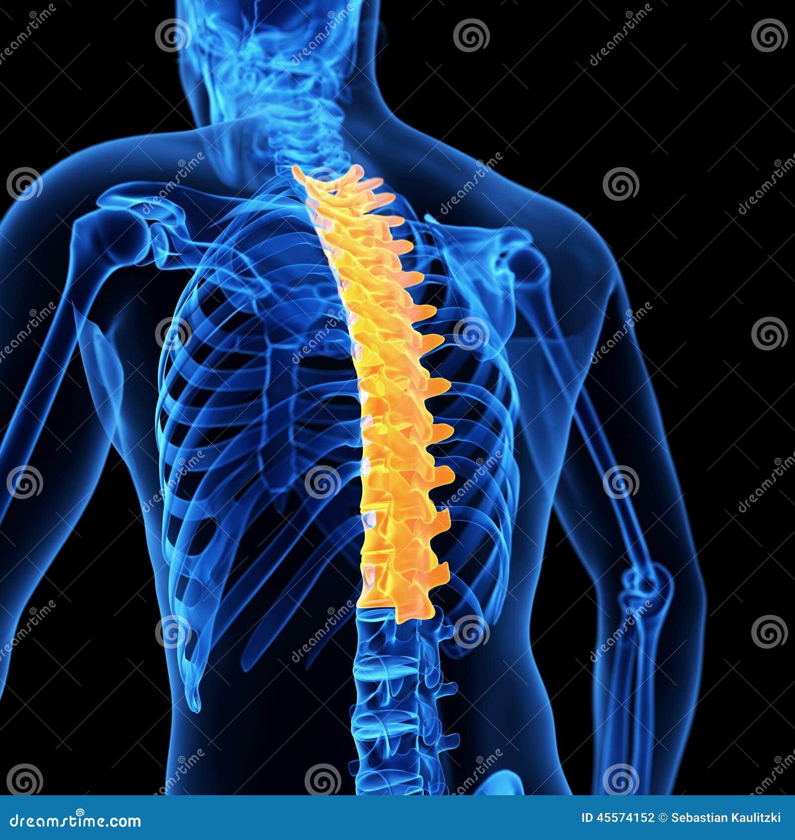 Der Brust- Dorn stock abbildung. Illustration von anatomie - 45574152
