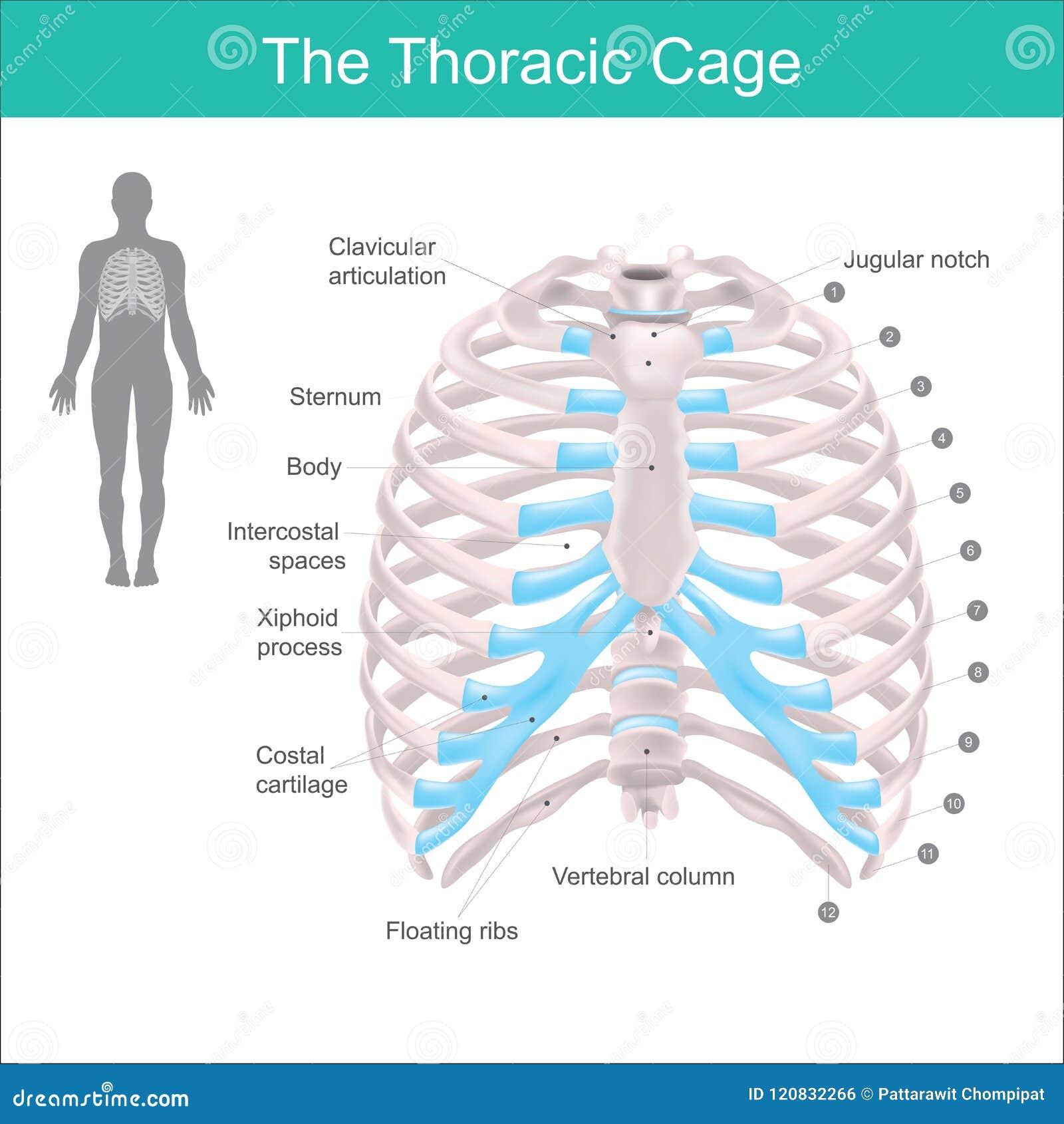 Der Brust- Käfig