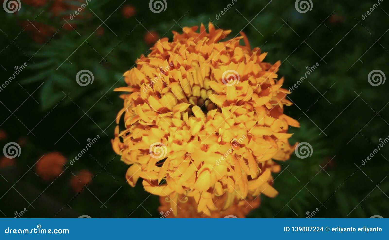 Der Charme einer Kosmos caudatus Blume zwischen der Dunkelheit der Dämmerung
