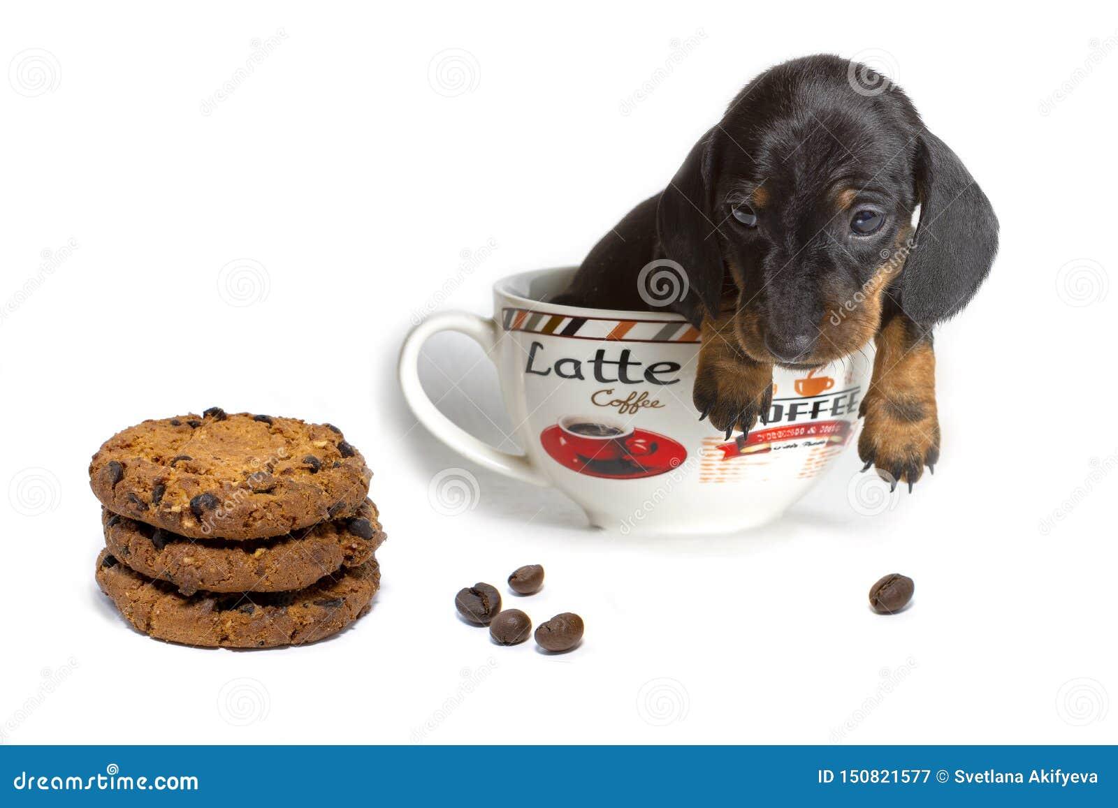 Der Dachshundwelpe in einem großen Tasse Kaffee betrachtet die Hafermehlplätzchen, die auf einem weißen Hintergrund lokalisiert w