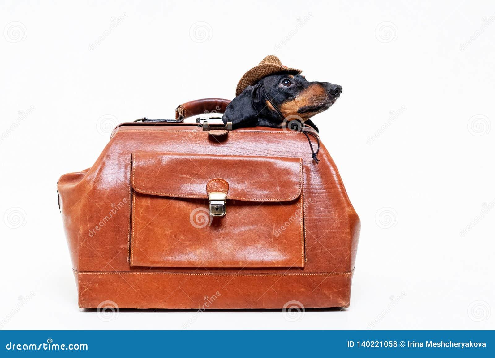 Der Dachshundzuchthund, schwarz und bräunen sich, in einem Cowboyhut sich versteckte in einem Weinlesekoffer für Reise, lokalisie