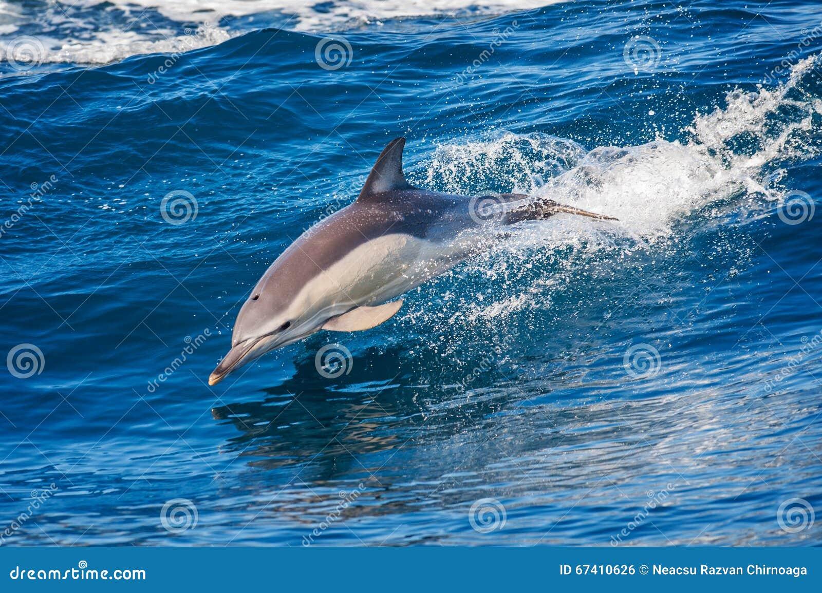 Der Delphin
