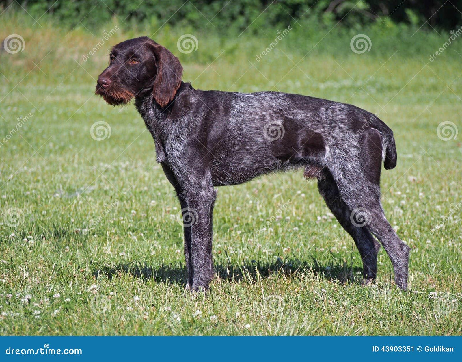 Der drahthaar Hund stockbild. Bild von pedigreed, haar - 43903351