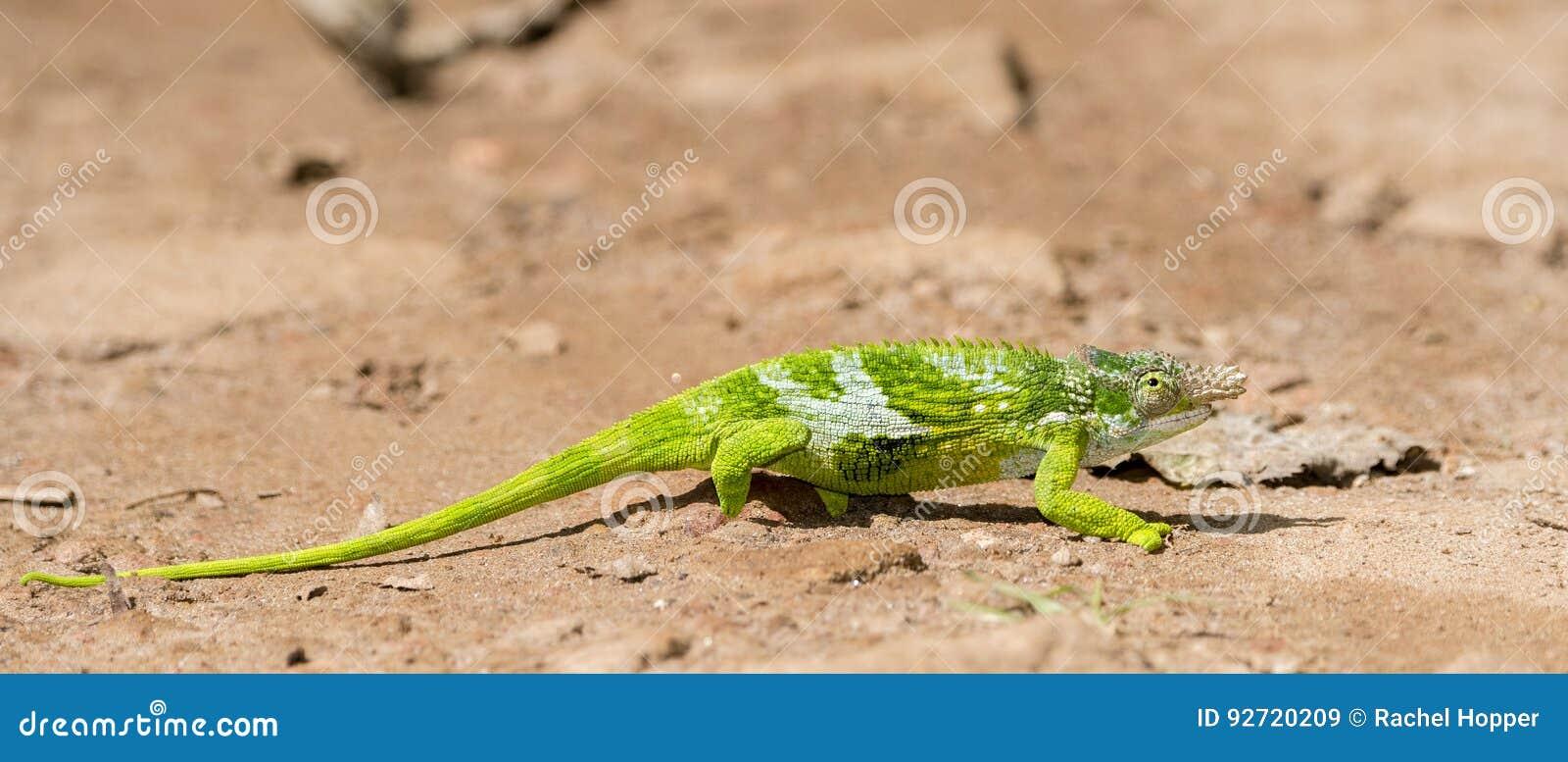 Der Endemic u. bedrohte Chamäleon Usambara Zwei-gehörntes Kinyongia-multituberculata in Tansania