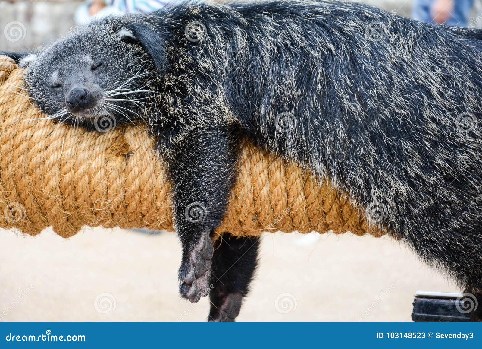 Der fette Bär Binturong angenehm und, das bequem auf seinem Spielzeug an einem schönen Tag schläft