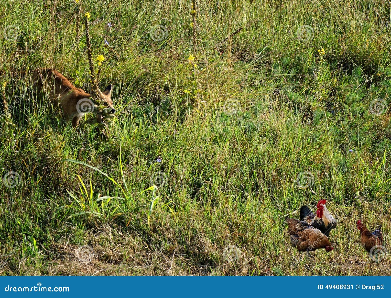 Download Der Fuchs Betrachtet Die Hühner Stockbild - Bild von fuchs, tier: 49408931