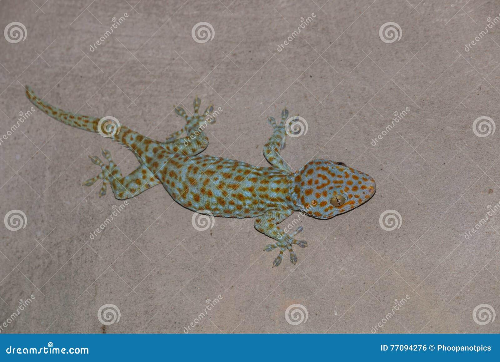 Der Gecko auf Wand