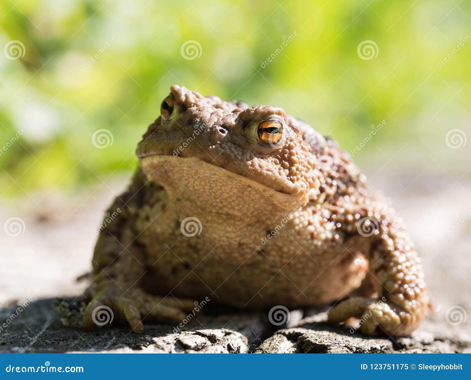 Der gemeine Krötenfrosch, europäische Kröte bufo bufo ist eine Amphibie, die während die meisten von Europa gefunden wird