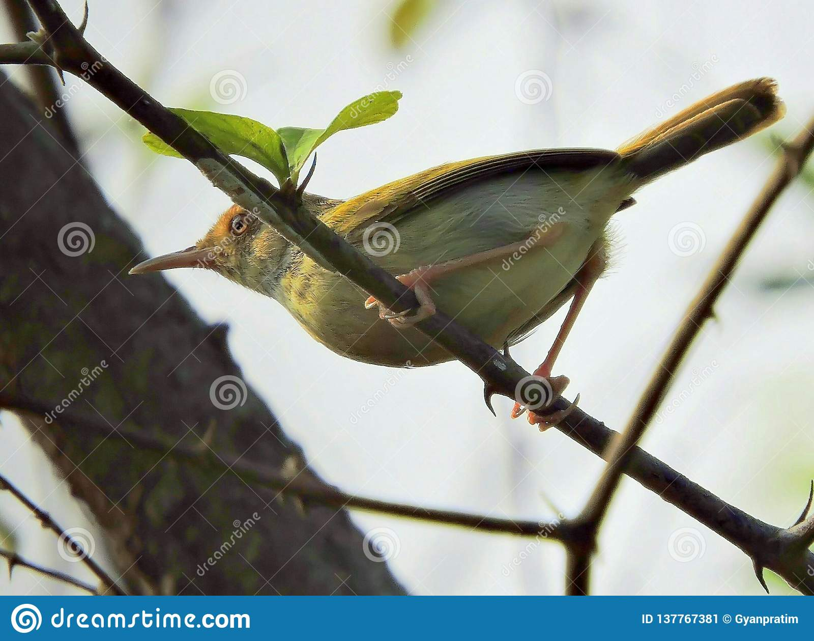 Der gemeine Schneidervogel