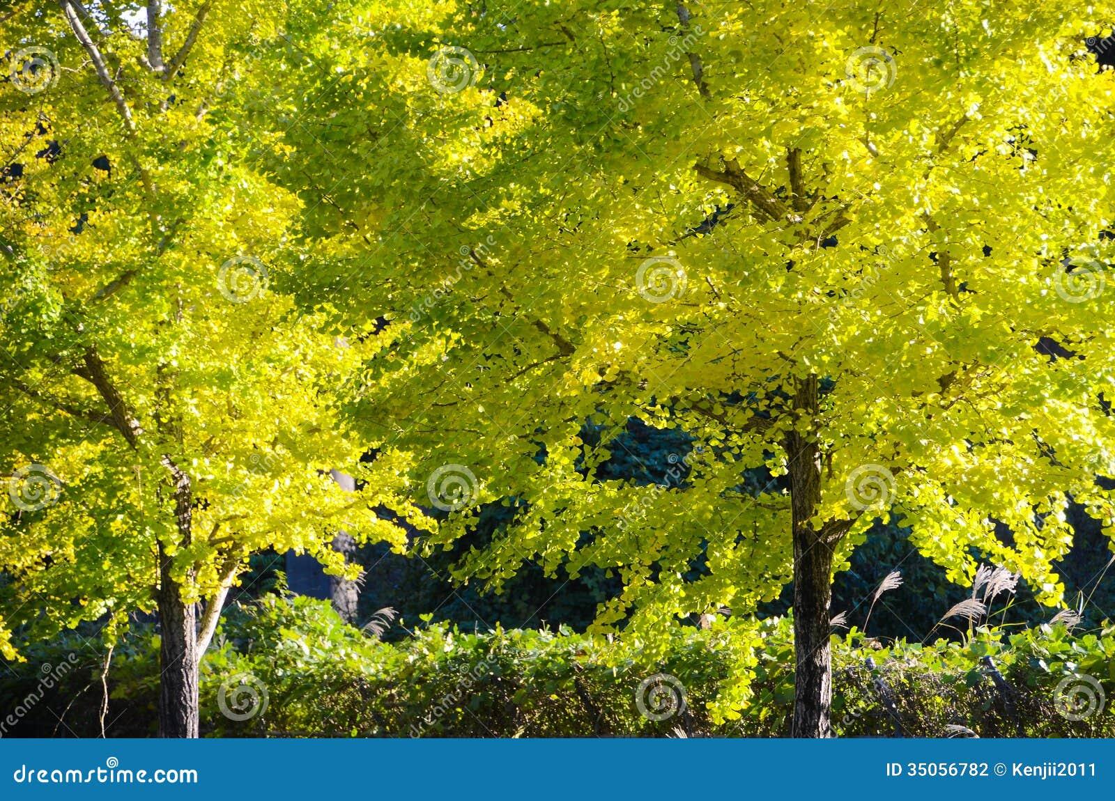 der ginkgobaum auf dem weg zum das gelb zu werden. Black Bedroom Furniture Sets. Home Design Ideas