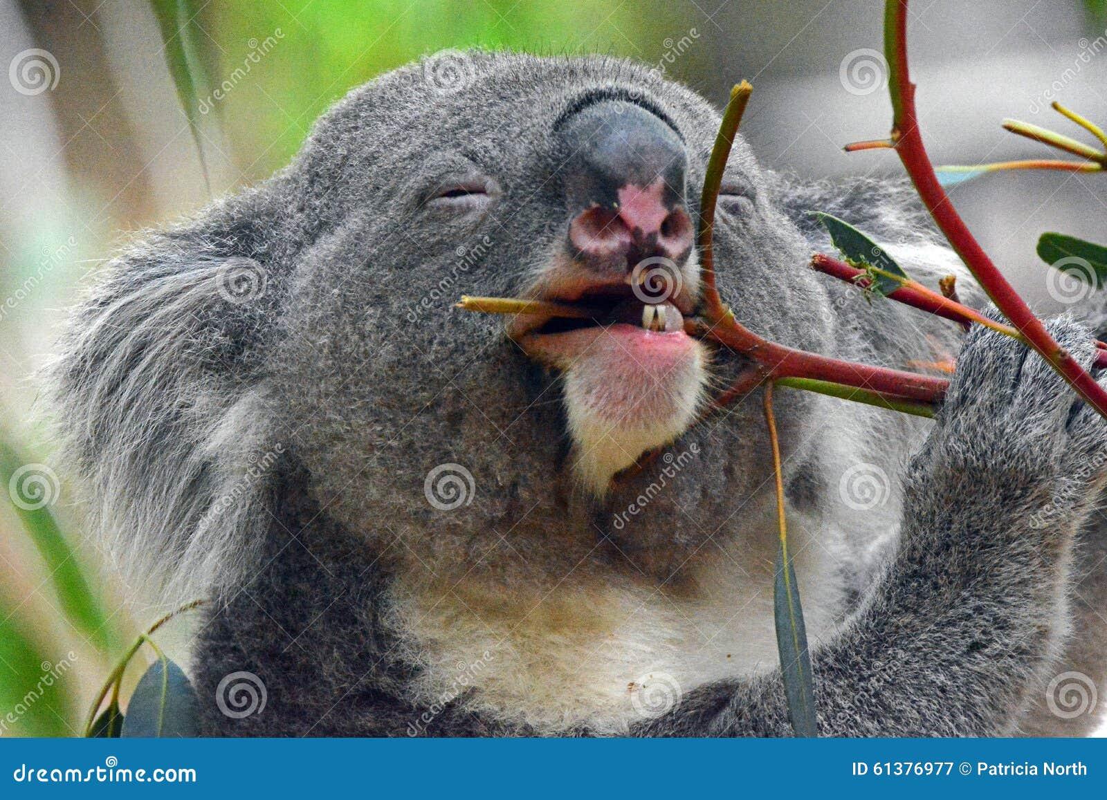 Der glückliche Koala