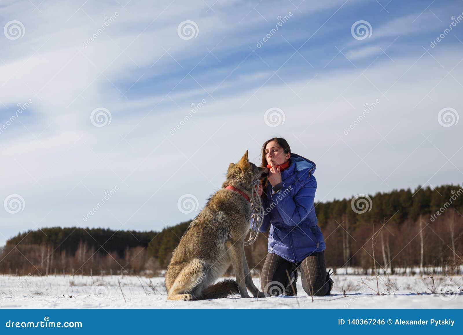 Der graue Wolf küsst das Mädchen auf den Lippen Snowy-Feld nahe dem Wald