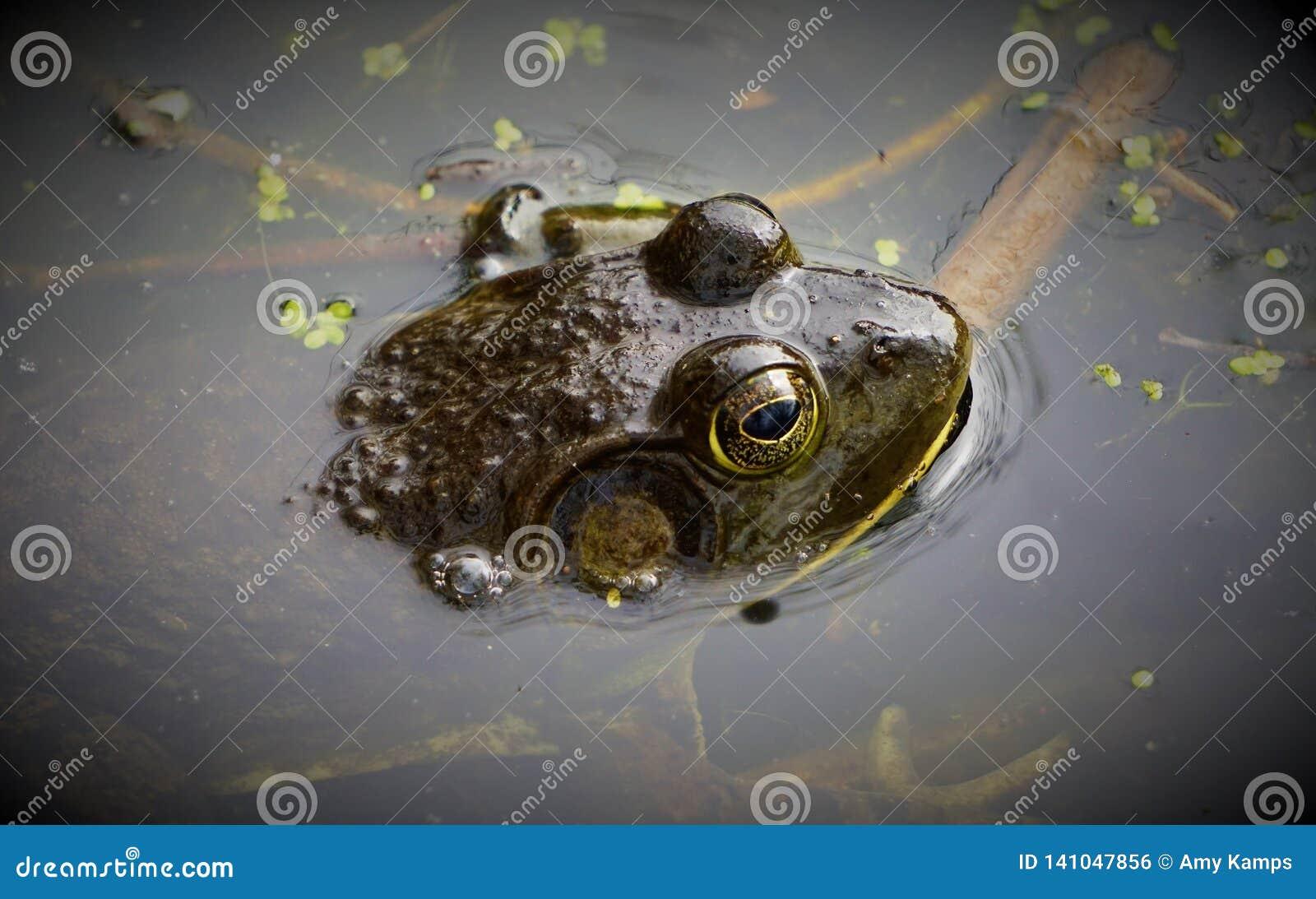 Der große amerikanische Ochsenfrosch