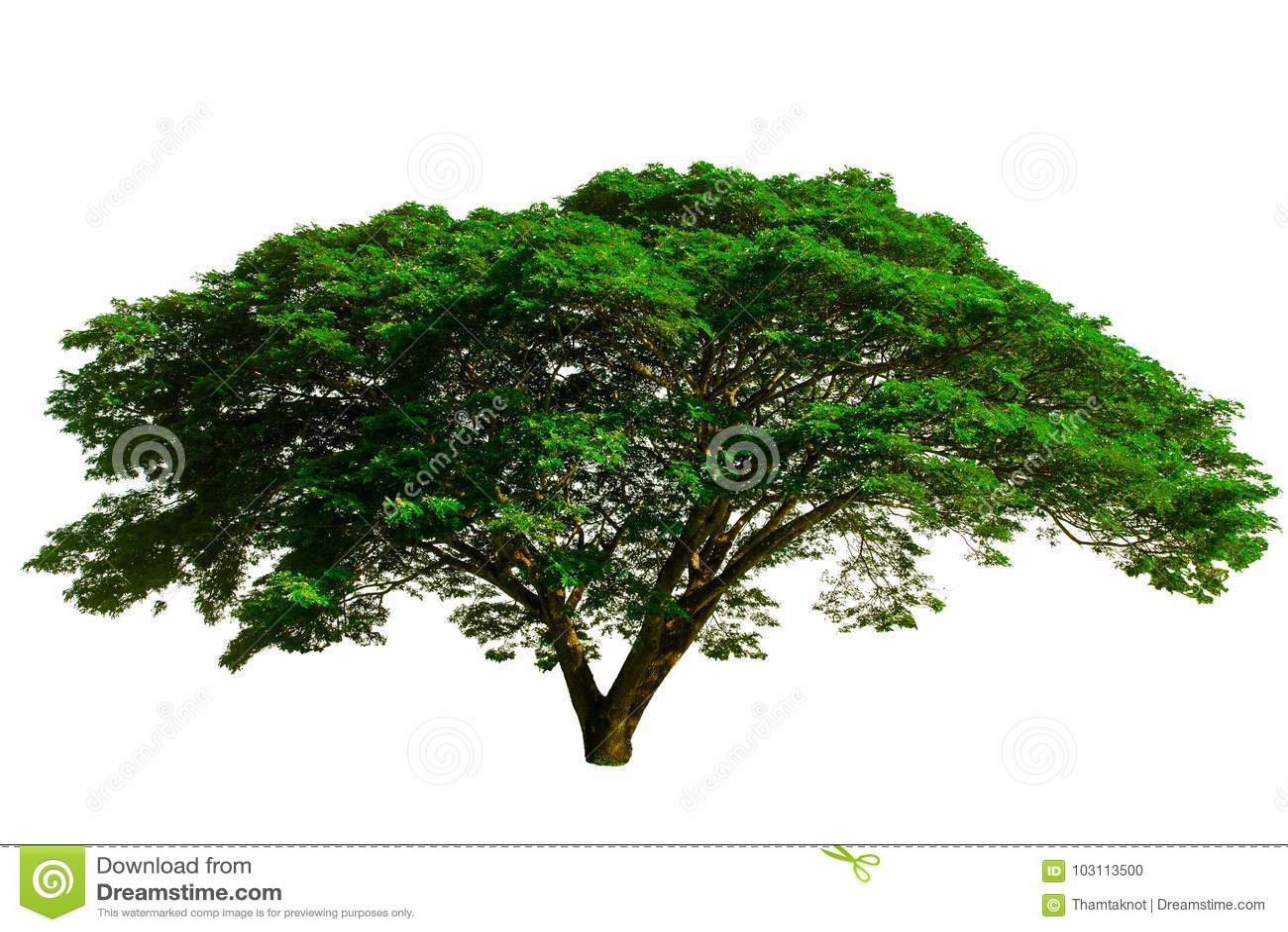 Der große Baum benutzt, um zu entwerfen oder Dekoration, lokalisiert auf weißem Hintergrund