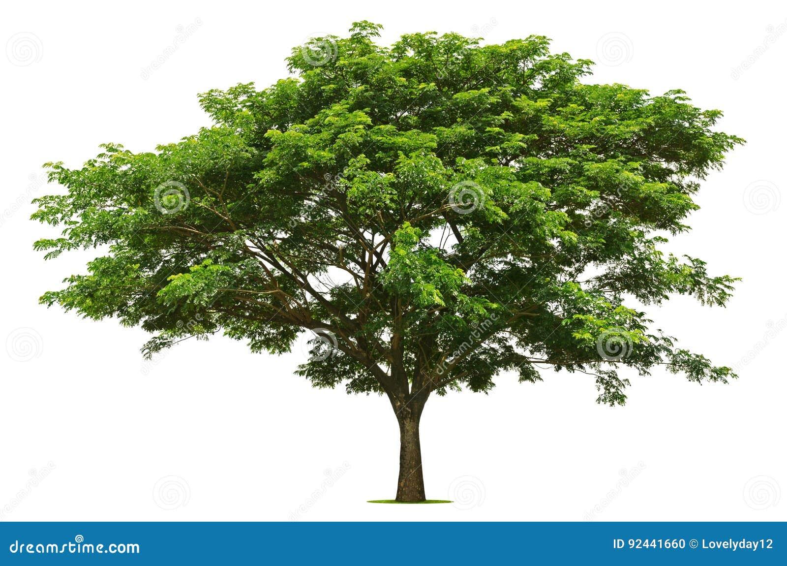 Der große grüne Baum ist auf dem Weiß hell