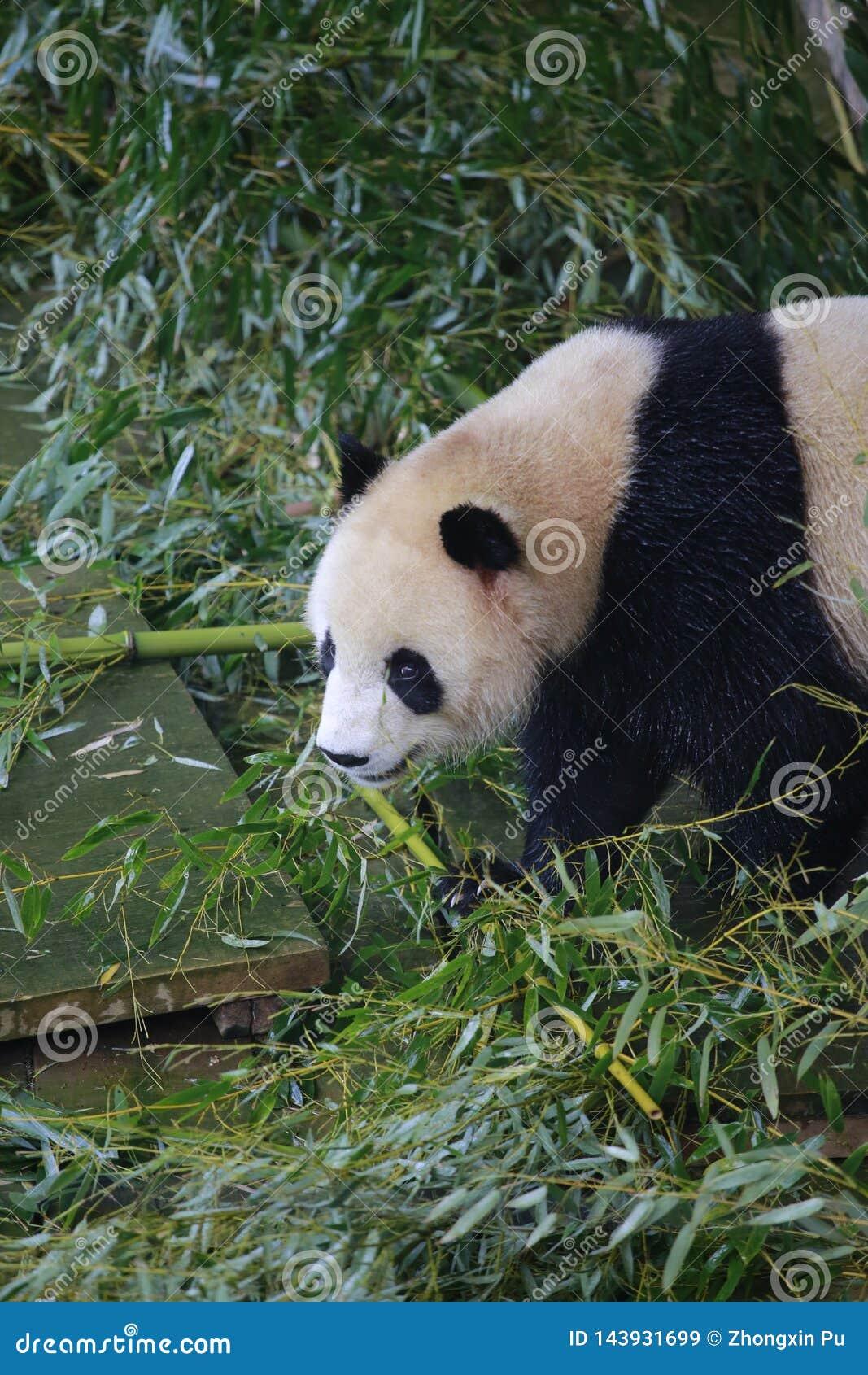 Der große Panda gehört den einzigen Säugetieren des Karnivorens, der Bärenfamilie, des Subfamily des großen Pandas und des großen