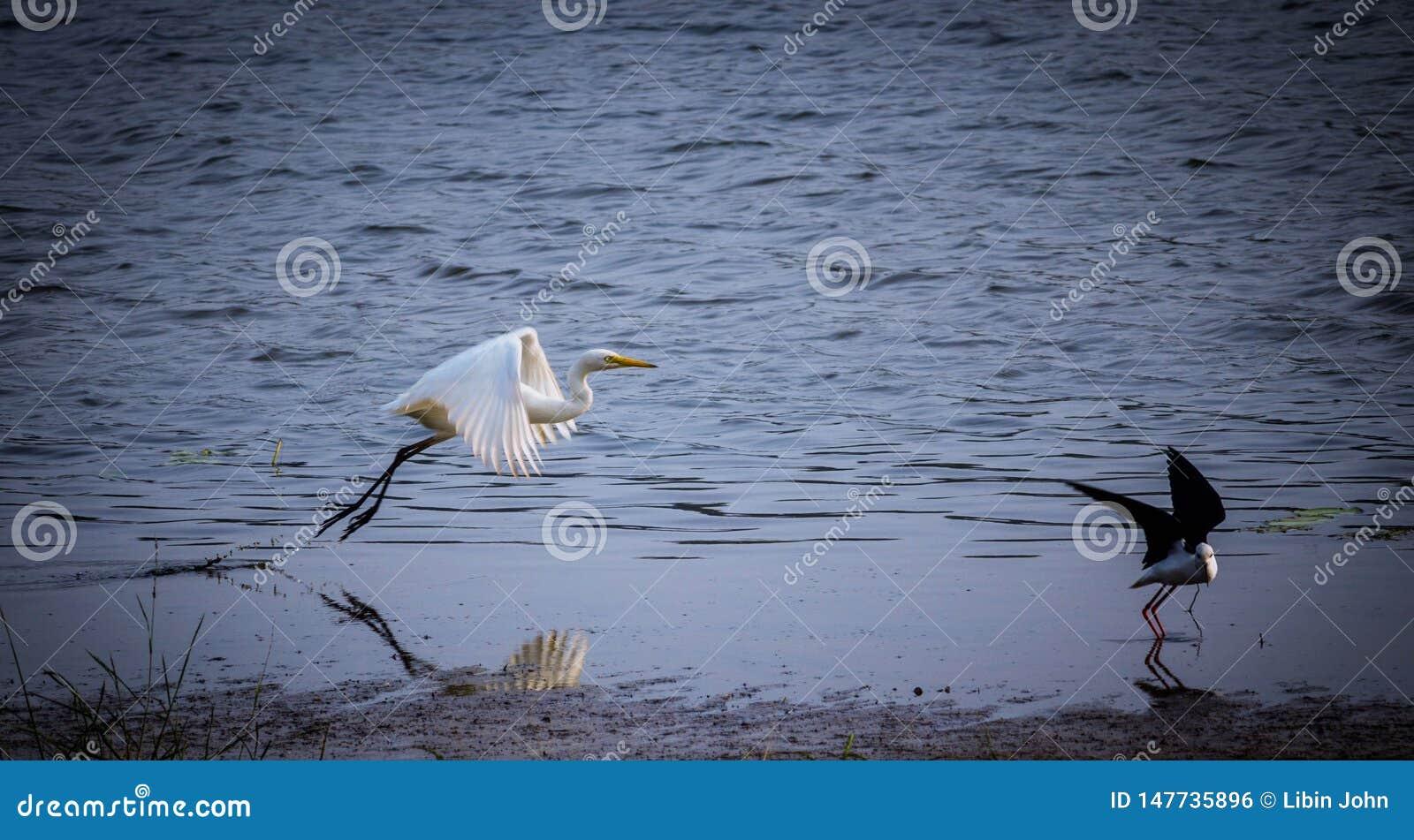 Der große Reiher, der weg vom See fliegt