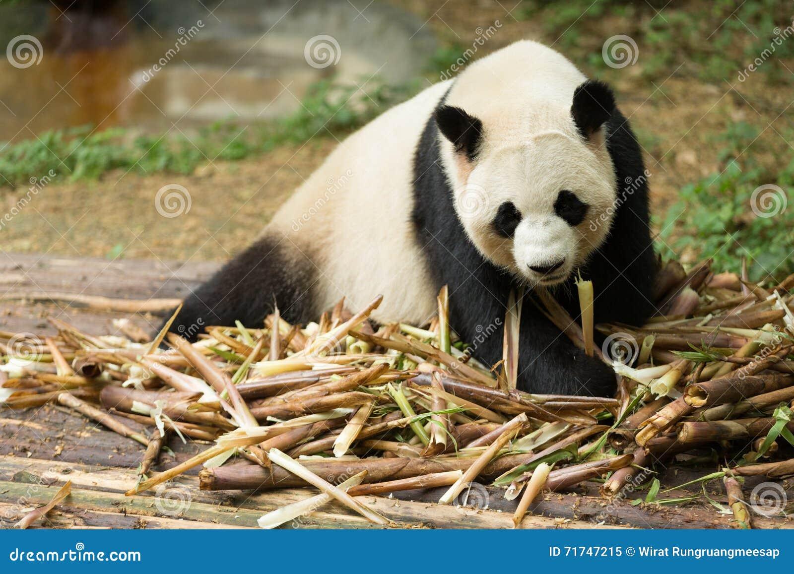 der gro e panda der bambus schaut stockfoto bild 71747215. Black Bedroom Furniture Sets. Home Design Ideas