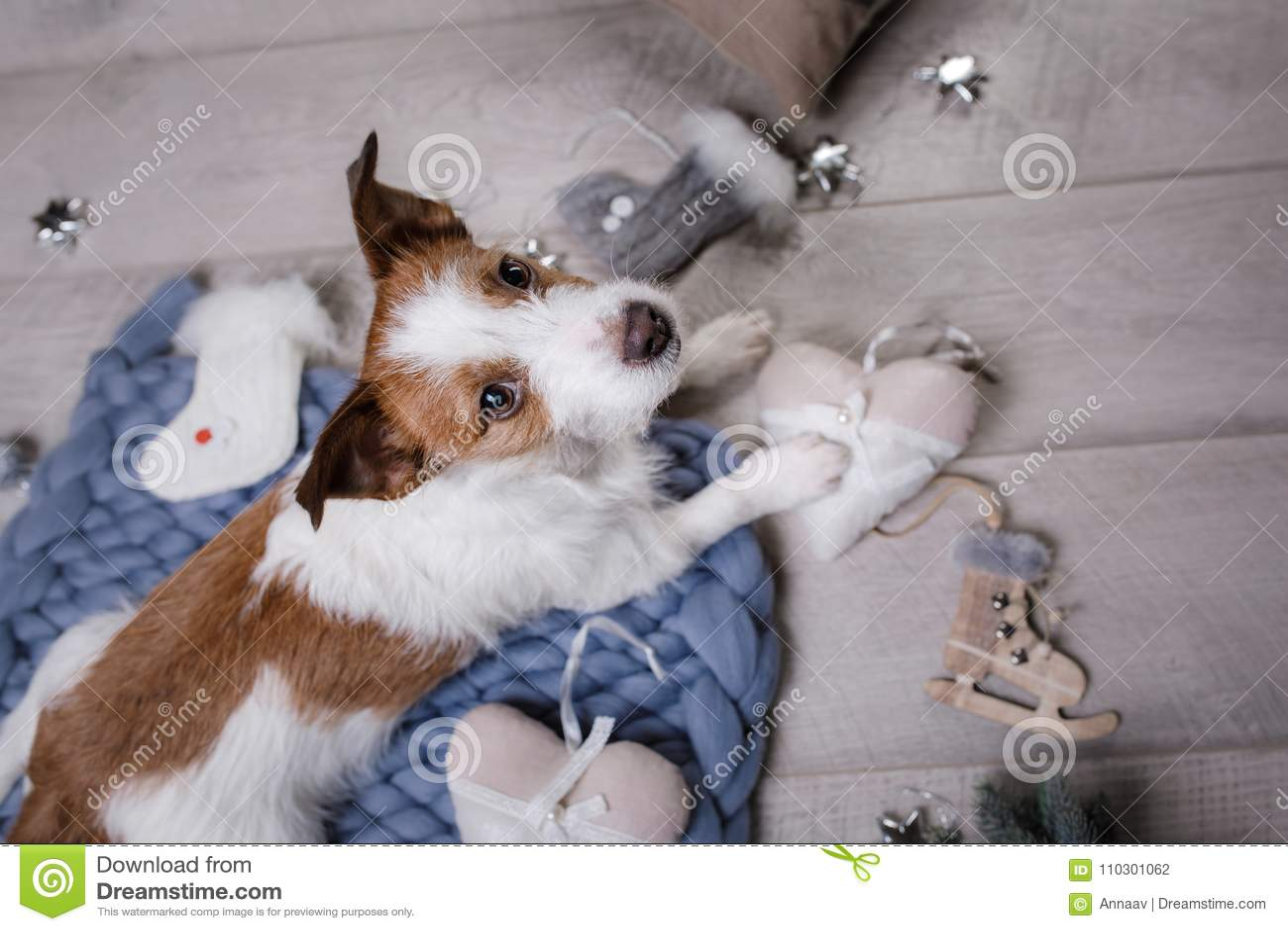 Der Hund liegt auf dem Boden Jack Russell Terrier auf einer Decke