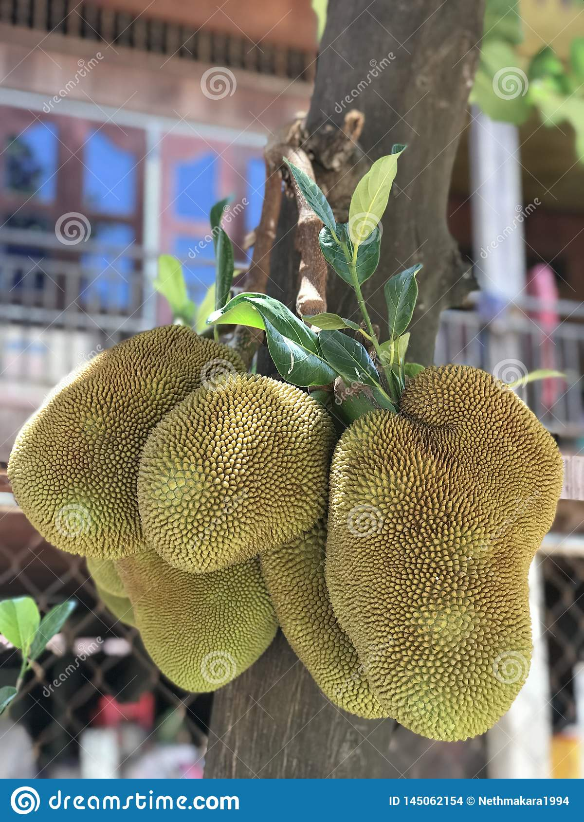 Der Jackfruit