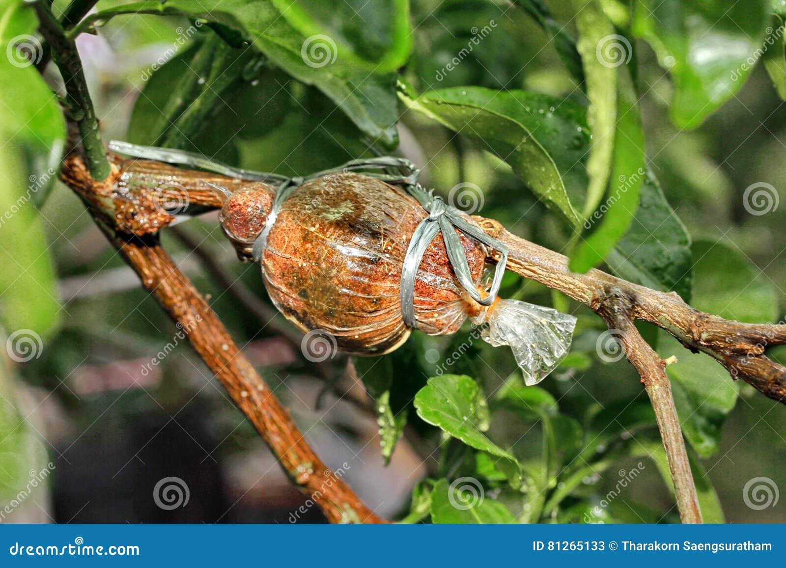Der Kaffirkalk, der für Ausbreitung verpflanzt