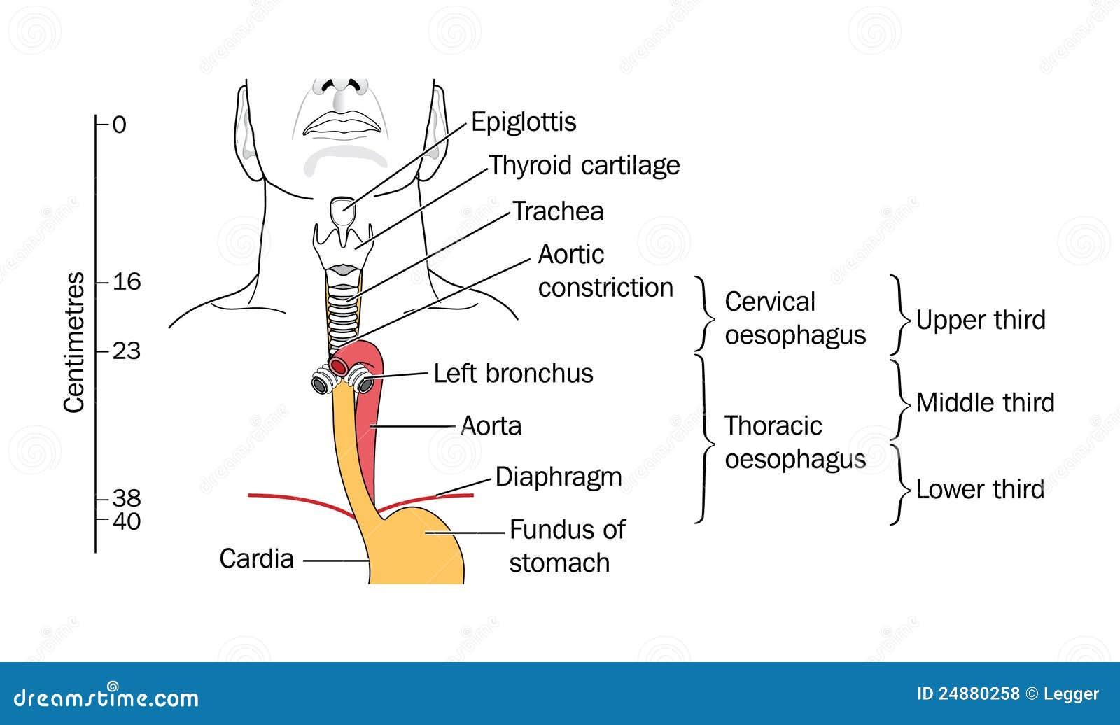 Der Kehlkopf Und Die Trachea Vektor Abbildung Illustration Von