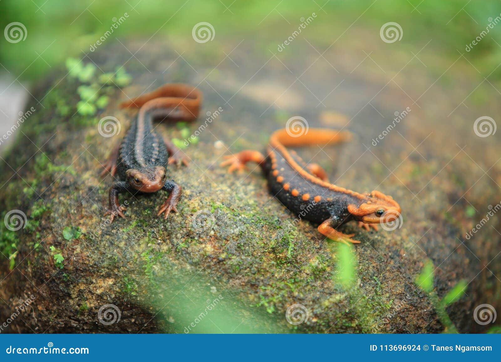 Der Krokodilsalamander ist auf Doi Inthanon, das hig gefunden worden