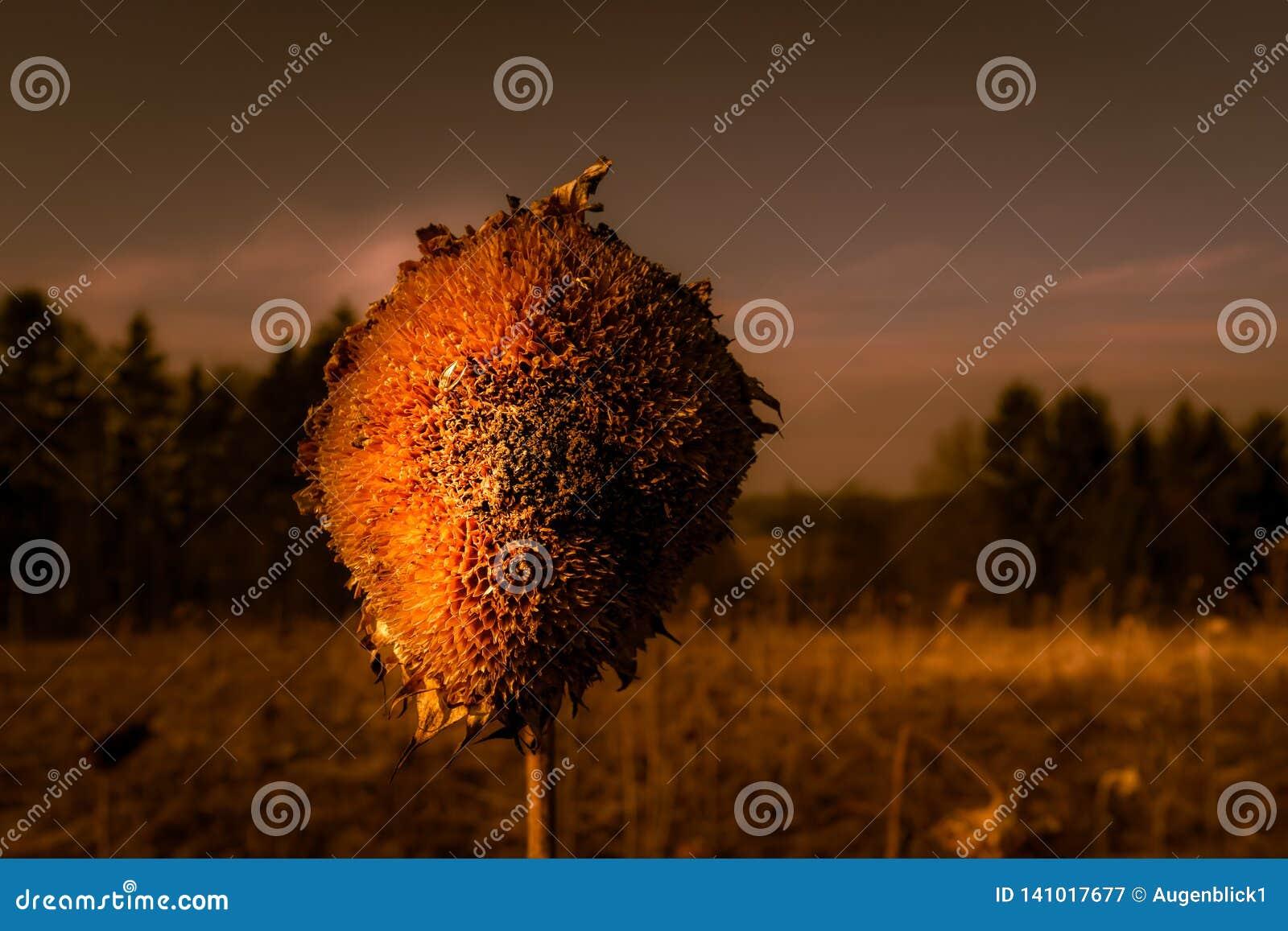 Der müde Kopf der Sonnenblume