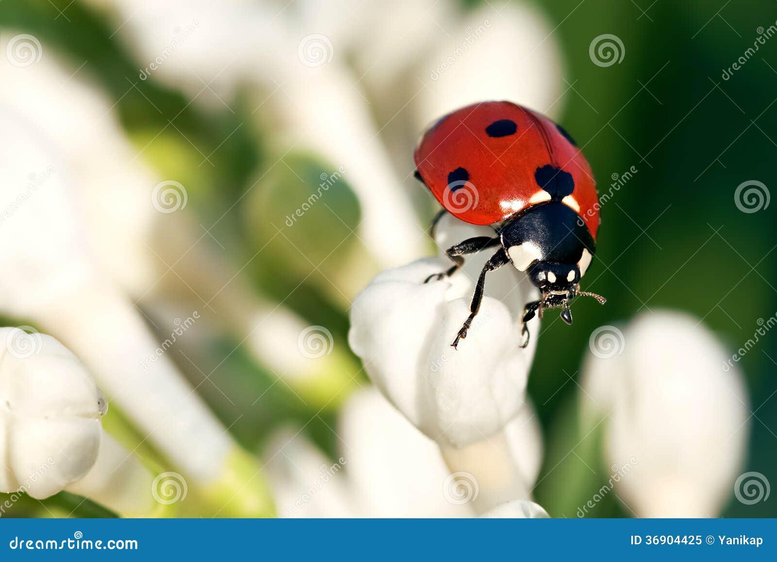 Der Marienkäfer Kriecht Auf Weiße Blumen Stockbild Bild Von Blume