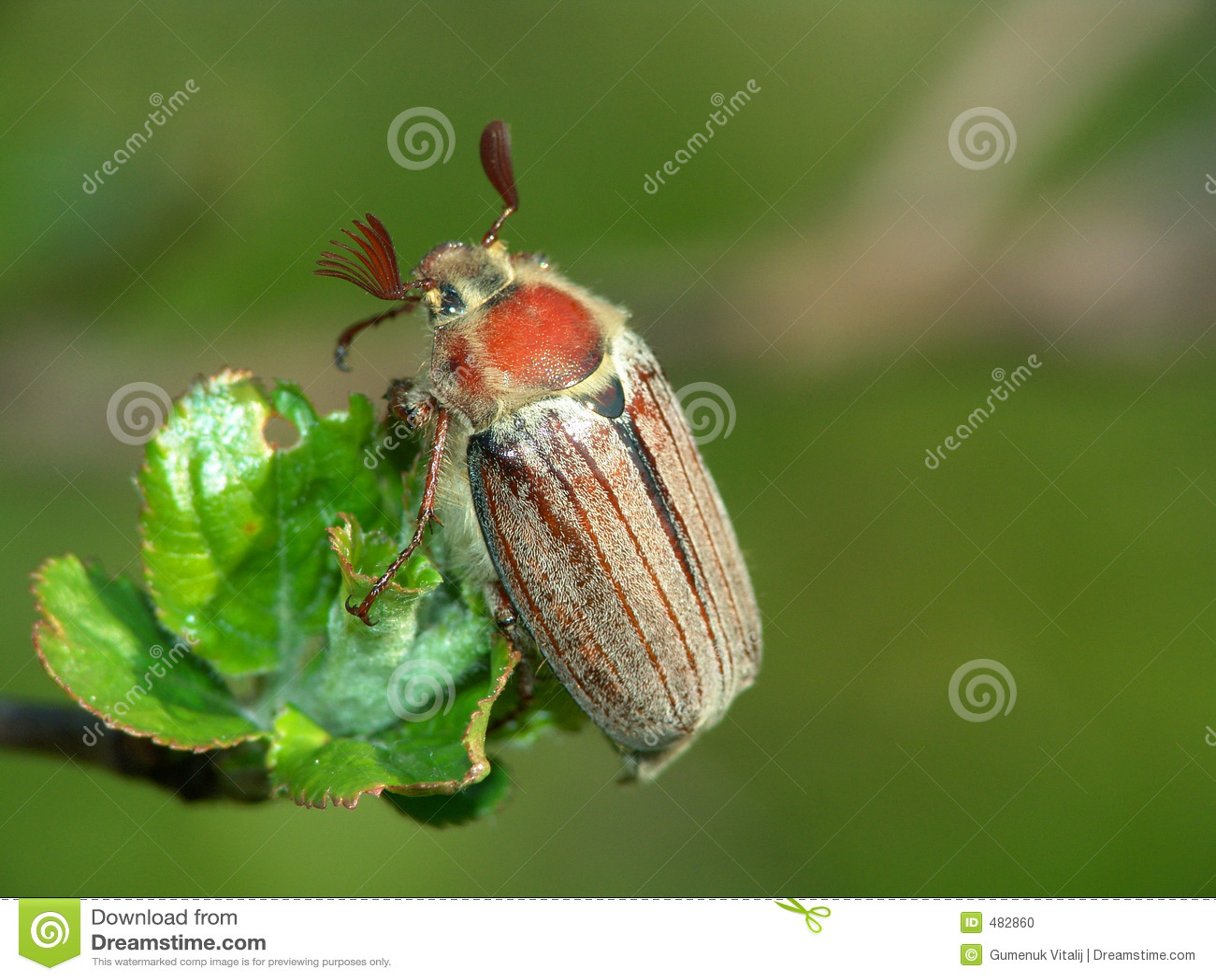 Der May-bug.