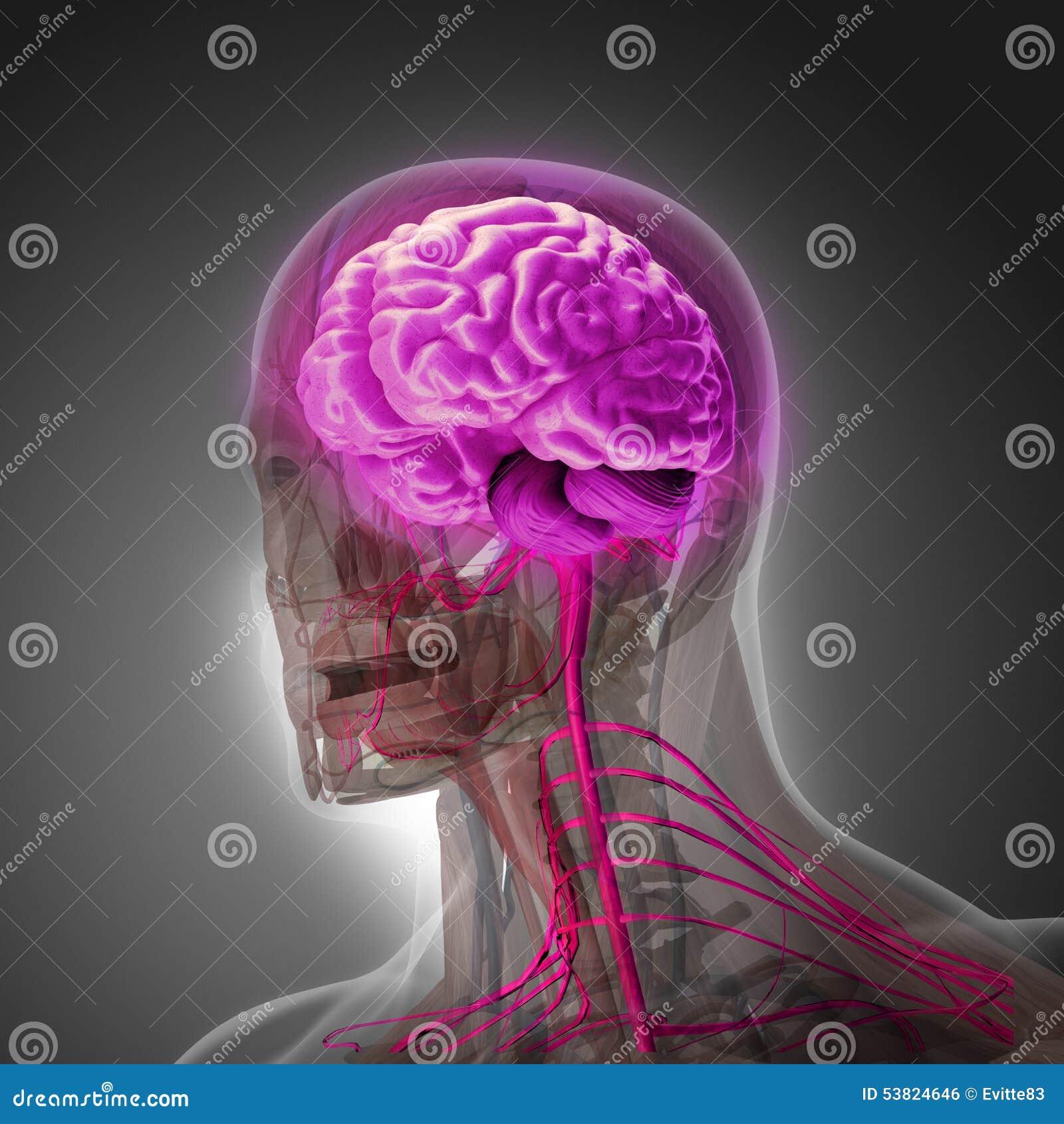 Der menschliche Körper (Organe) durch Röntgenstrahlen auf grauem Hintergrund
