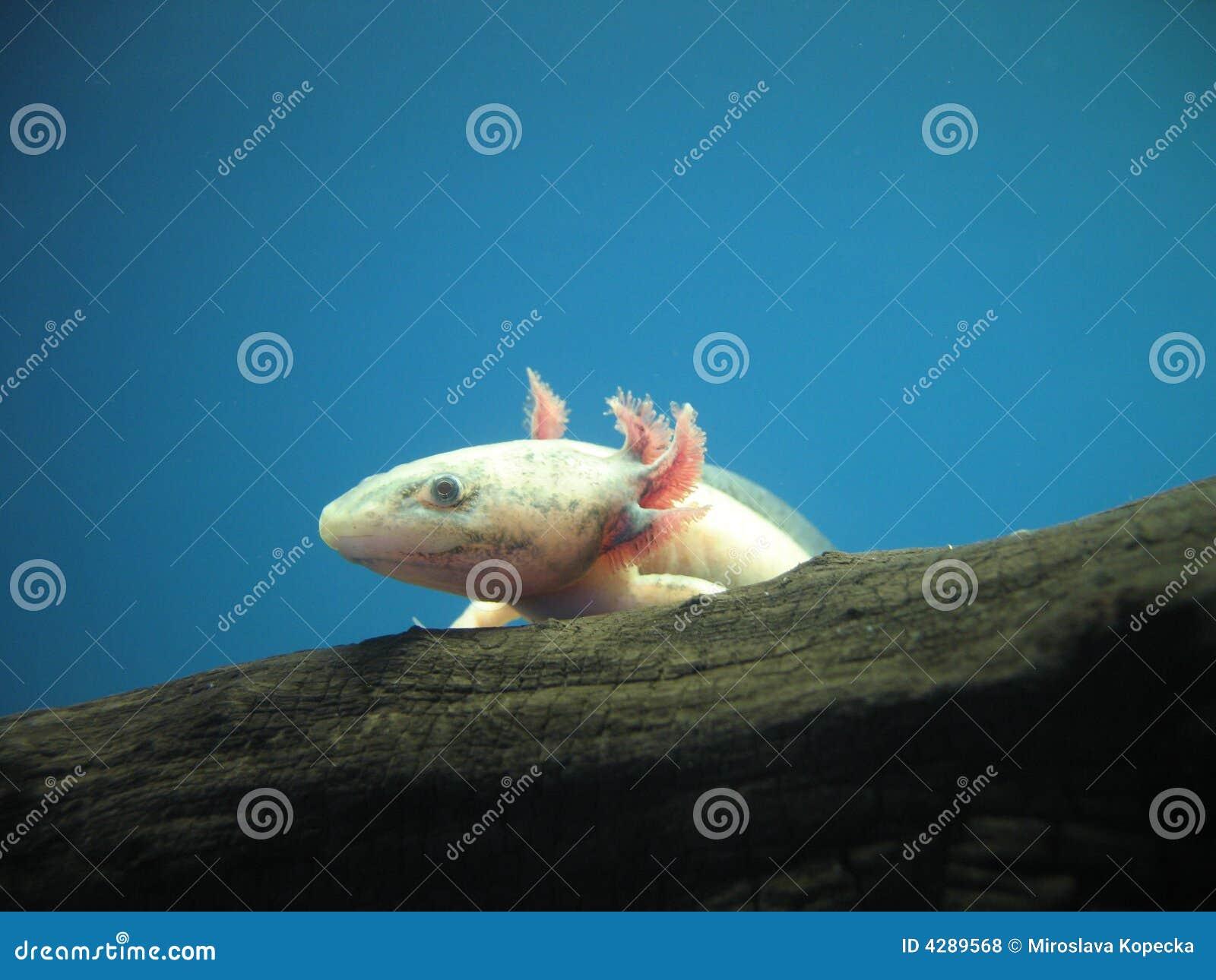 Der mexikanische Axolotl