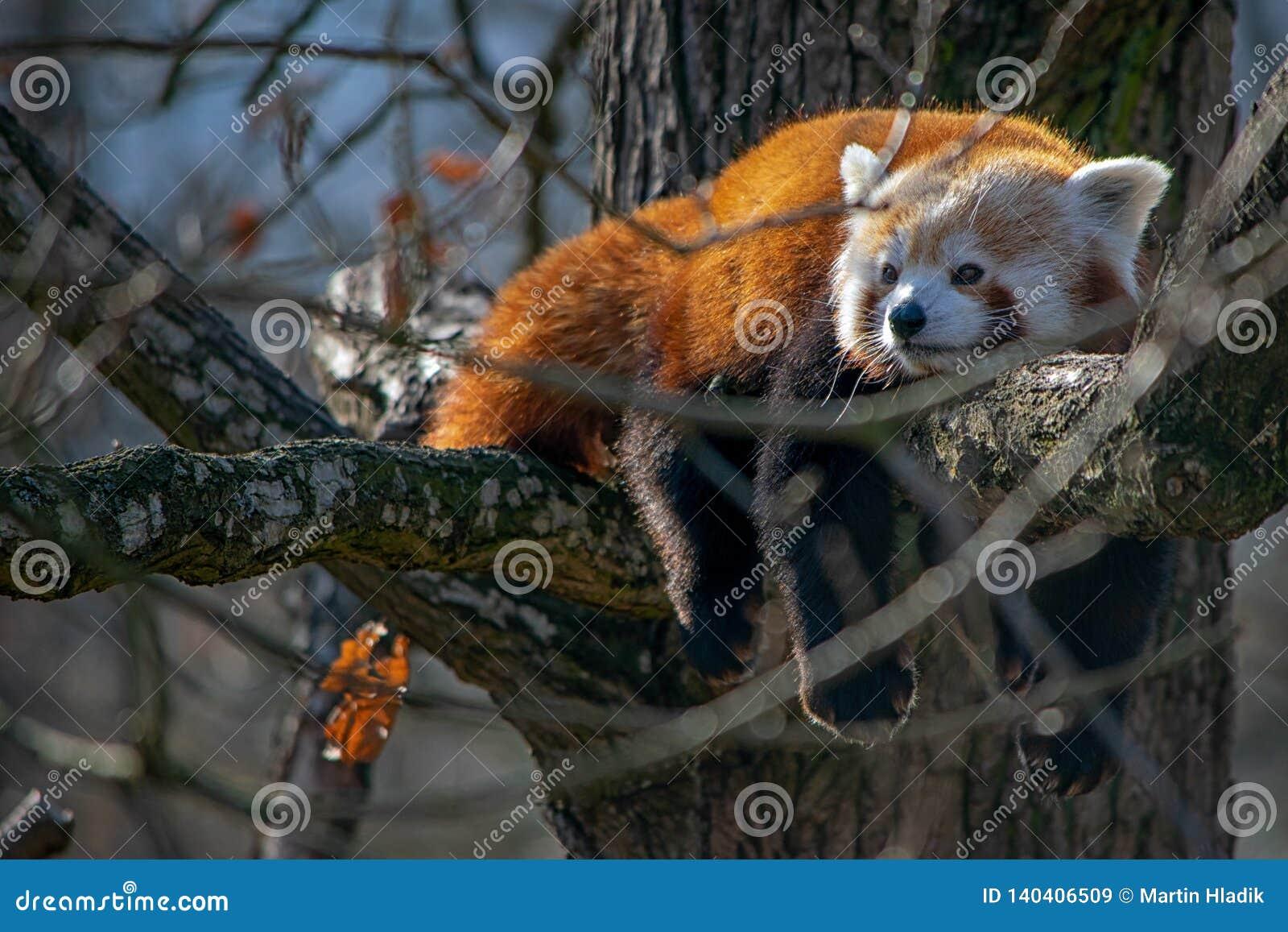 Der rote Panda, nett, Orange, entspannen sich