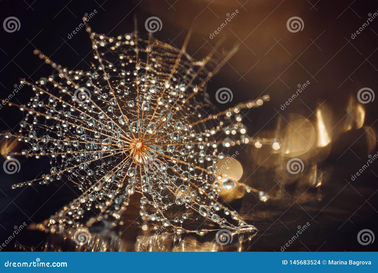 Der Samen des lauchblättrigen Bocksbarts in der Wassertröpfchennahaufnahme Brown-Goldhintergrund mit Strahlen des Lichtes und des